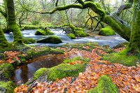 Autumn leaves lie amidst the moss-covvered trees by the River Fowey near the Golitha Falls, Bodmin Moor